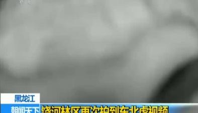 黑龍江:饒河林區再次拍到東北虎視頻