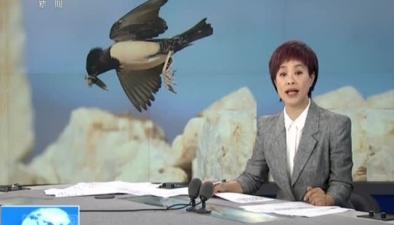 新疆伊犁:工程爆破産生碎石引粉紅椋鳥築巢