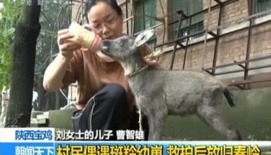 陜西寶雞:村民偶遇斑羚幼崽 救護後放歸秦嶺