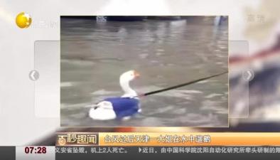 臺風過後天津一大姐在水中遛鵝