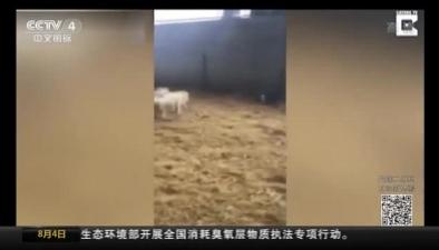 放羊!小豬進羊圈趕羊群
