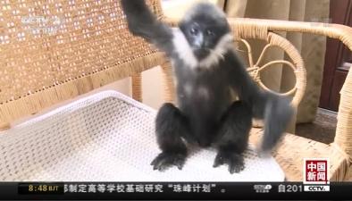雲南普洱:獲救白頰長臂猿 黏上警察媽媽