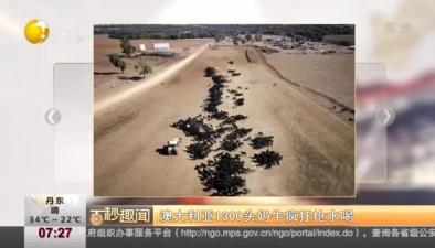 澳大利亞1300頭奶牛瘋狂搶水喝