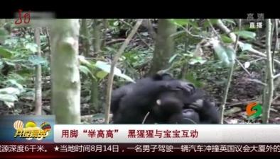 """用腳""""舉高高"""" 黑猩猩與寶寶互動"""