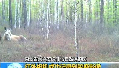 內蒙古大興安嶺汗馬自然保護區:紅外相機成功記錄到駝鹿影像