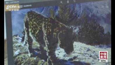 四川甘孜:首次拍攝到亞洲金貓