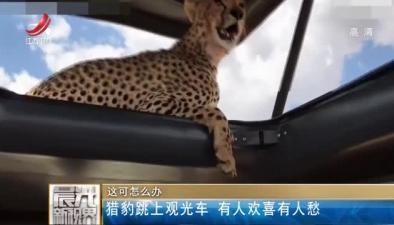 這可怎麼辦:獵豹跳上觀光車 有人歡喜有人愁