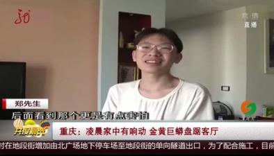 重慶:淩晨家中有響動 金黃巨蟒盤踞客廳