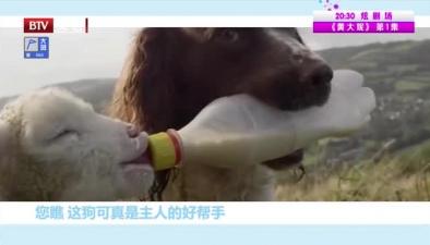給小羊喂奶的狗狗