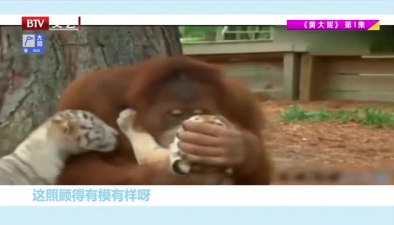 照顧老虎的猩猩