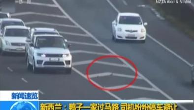 新西蘭:鴨子一家過馬路 司機紛紛停車避讓
