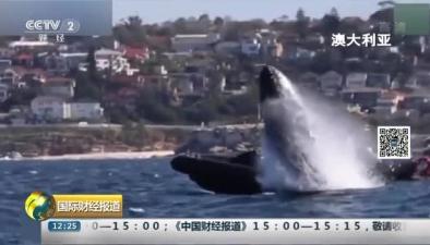 """澳大利亞:""""保養皮膚""""數頭20噸巨鯨貼船躍出海面"""