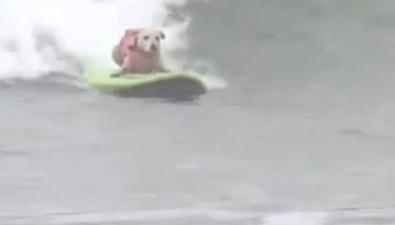 寵物狗又添新技能 享受衝浪有模有樣