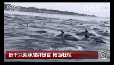 近千只海豚成群覓食 場面壯觀