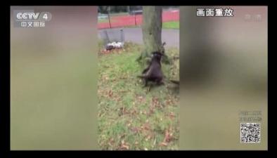 松鼠飛身逃生 驚險躲開兩犬追擊