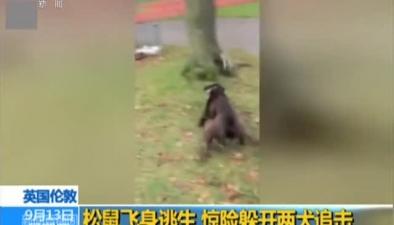 英國倫敦:松鼠飛身逃生 驚險躲開兩犬追擊