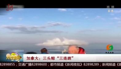 """加拿大:三頭鯨""""三連跳"""""""