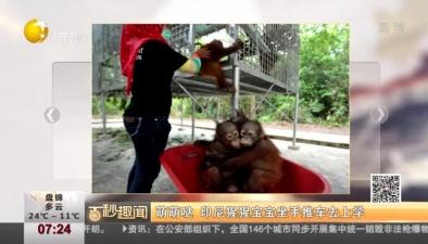 萌萌噠 印尼猩猩寶寶坐手推車去上學