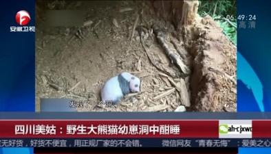 四川美姑:野生大熊貓幼崽洞中酣睡