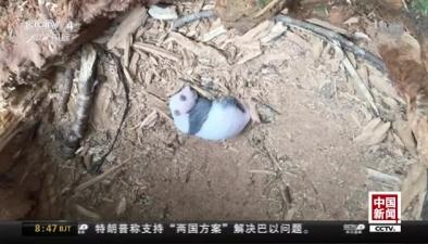 四川:野外發現大熊貓産子巢穴
