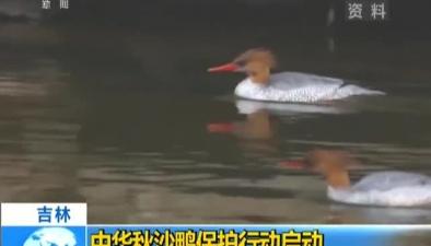 吉林:中華秋沙鴨保護行動啟動