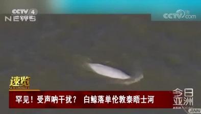 罕見!受聲吶幹擾?白鯨落單倫敦泰晤士河