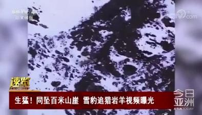 生猛!同墜百米山崖 雪豹追獵岩羊視頻曝光