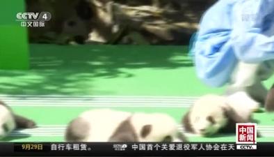 成都基地2018年新生大熊貓集體亮相