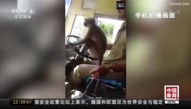 """印度:讓猴子""""開公交""""? 司機被停職"""