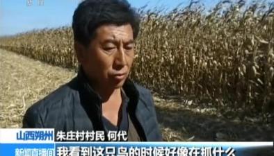 山西朔州:蒼鷹受傷落入玉米地被救助