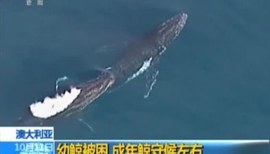 澳大利亞:幼鯨被困 成年鯨守候左右
