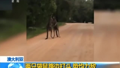 澳大利亞:兩只袋鼠路邊打鬥 勢均力敵