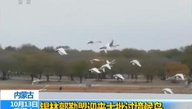 內蒙古:錫林郭勒盟迎來大批過境候鳥