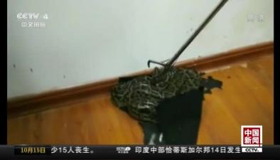 """廣西南寧:大蟒蛇""""從天而降"""""""