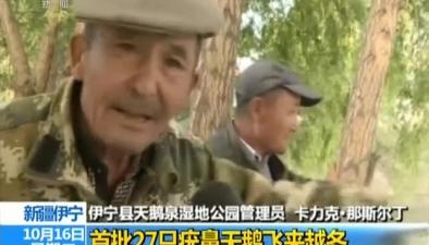 新疆伊寧:首批27只疣鼻天鵝飛來越冬