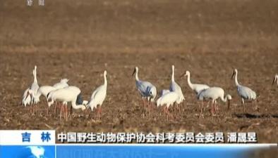 吉林:南遷白鶴已至 中途停歇補充體力