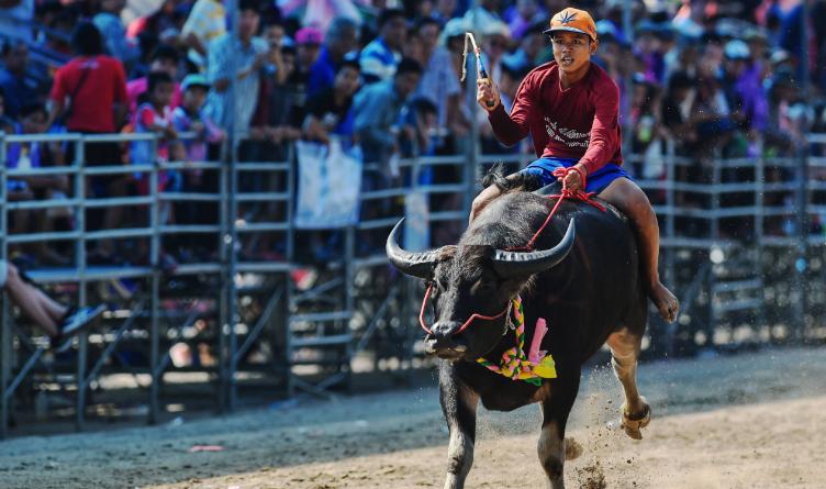泰國慶祝水牛節 水牛秒變奔牛