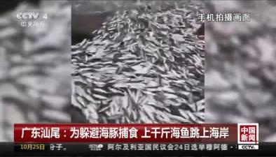 廣東汕尾:為躲避海豚捕食 上千斤海魚跳上海岸