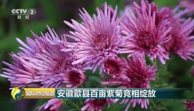 安徽歙縣百畝紫菊競相綻放