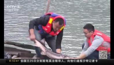 四川宜賓:成功救助一大體型長江鱘