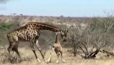 南非:險遭鬣狗襲擊 長頸鹿被媽媽搭救