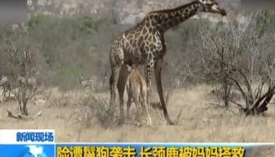 險遭鬣狗襲擊 長頸鹿被媽媽搭救