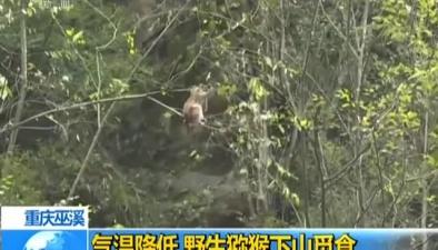 重慶巫溪:氣溫降低 野生獼猴下山覓食