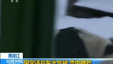 黑龍江:國寶適應東北氣候 雪中撒歡