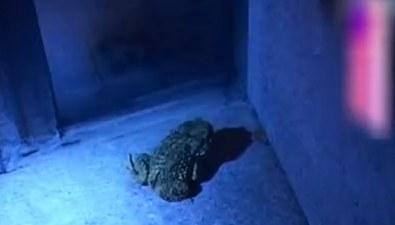 馴化動物高手 葛優養蛙