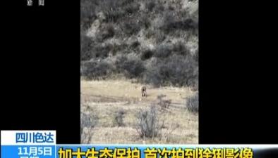 四川色達:加大生態保護 首次拍到猞猁影像