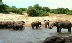 非洲:或遭獅群追擊 多頭野牛溺亡