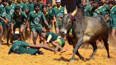 印度眾人趴地上自願被牛踩稱其能帶來好運