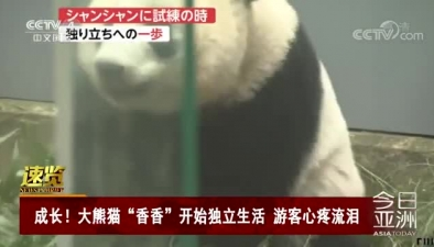 """成長!大熊貓""""香香""""開始獨立生活 遊客心疼流淚"""