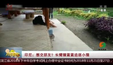 印尼:想交朋友?長臂猿緊緊追逐小貓